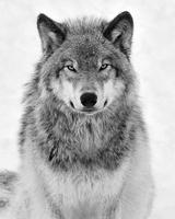 Medium bw lobo stare 2